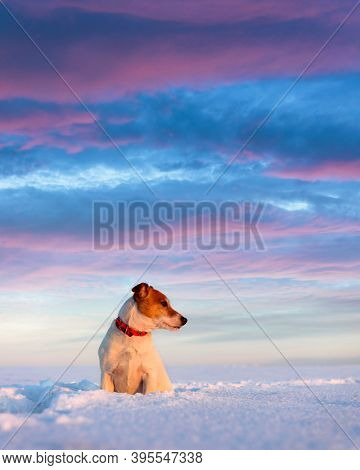 White jack russel terrier puppy on snowy field during sunrise. Adult dog with serious gaze