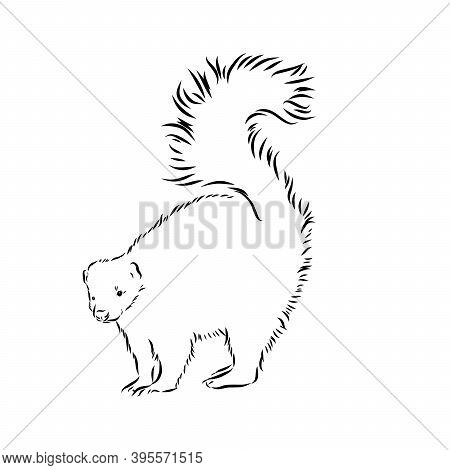 Skunk. Hand Drawing Of Wildlife. Animals Of North America Series. Vintage Engraving Style. Vector Il