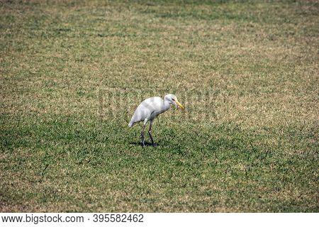 Isolated Image Of Little Egret Bird(egretta Garzetta) In Open Lawn. Little Egret Is A Species Of Sma