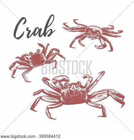 Crab Vector Illustration. Crab Hand Drawing. Three Crabs On A White Background