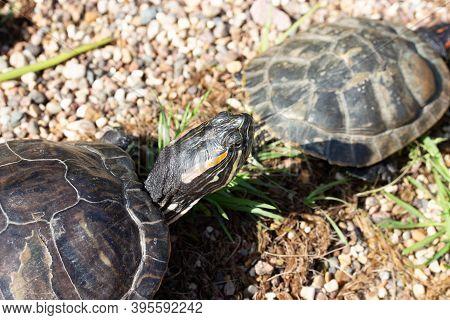 Trachemys Scripta Turtle Head Close-up, Riverbank Wildlife