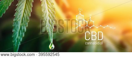 Concept Hemp Oil, Cbd Chemical Formula, Cannabis Oil, Medical Herb Concept. Cannabidiol Or Cbd Molec