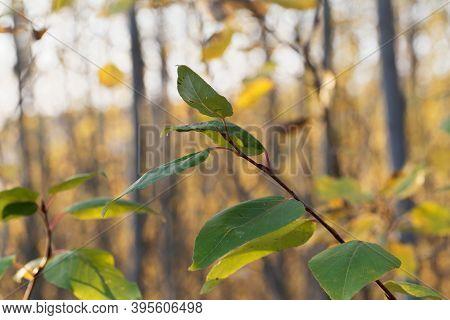 Leaves Of A Black Cottonwood, Populus Trichocarpa.
