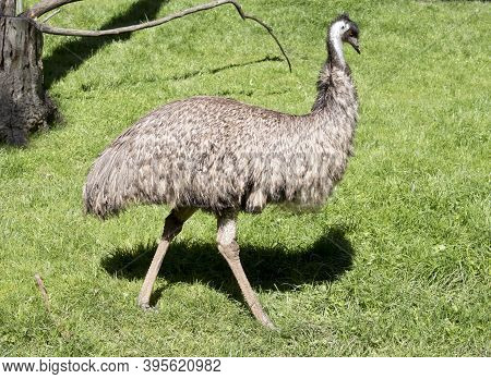 This Is A Cside View Of An Emu