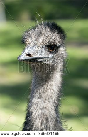 The Young Emu Has A Long Neck