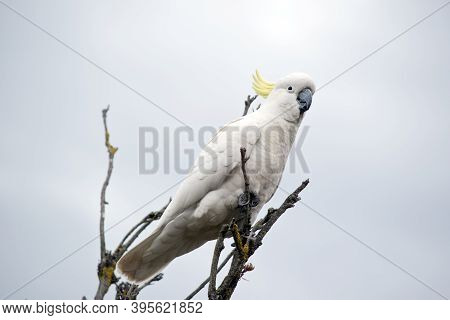 The Sulphur Crested Is A White Bitd With A Yellow Crest And A Black Beak