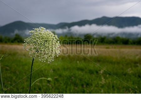 Blooming Flower In Cades Cove With Low Lying Clouds In The Background