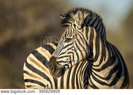 Beautiful Close Up On A Zebra's Face In Kruger Park In South Africa