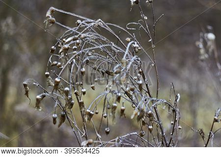 Freezing Rain Consequences. Ice Covered Field Plant Plume Thistles