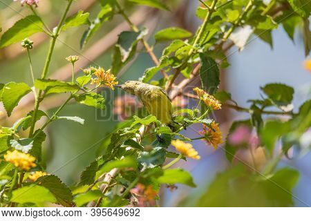 Olive-backed Sunbird (cinnyris Jugularis), Also Known As The Yellow-bellied Sunbird Feeds Nectar Fro