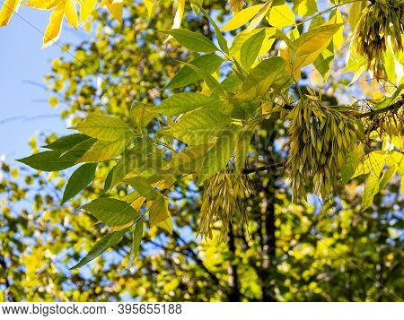 An Ash Branch With Yellow Autumn Leaves And Fruits - Lionfish Against A Background Of Blue Sky And T