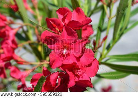 Common Oleander Pink Flowers - Latin Name - Nerium Oleander