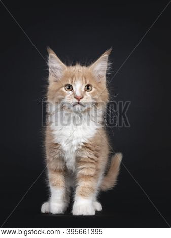 Curious Creme White Maine Coon Cat Kitten, Walking Towards Camera. Looking To Lens. Isolated On Blac