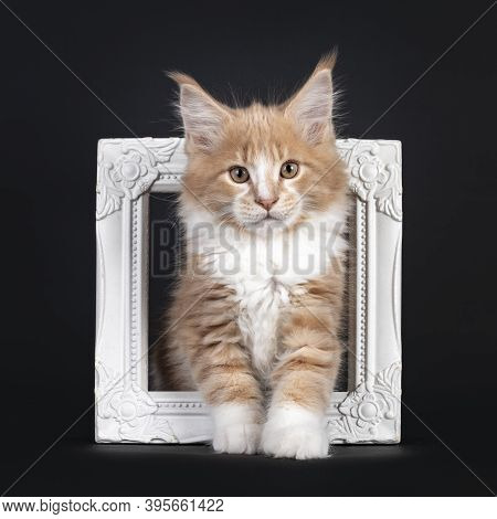 Majestic Creme White Maine Coon Cat Kitten, Standing Through White Photo Frame. Looking To Camera. I