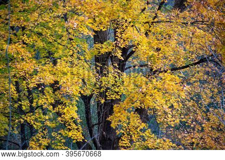 Subtle Motion Blur Of Leaves Shows Breezy Movement, While Brown Tree Trunk And Background Branches R