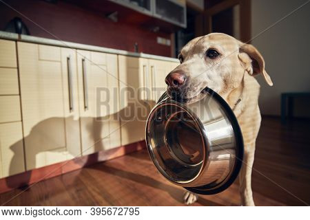 Cute Labrador Retriever Is Holding Dog Bowl In His Mouth In Home Kitchen. Hungry Dog With Sad Eyes I