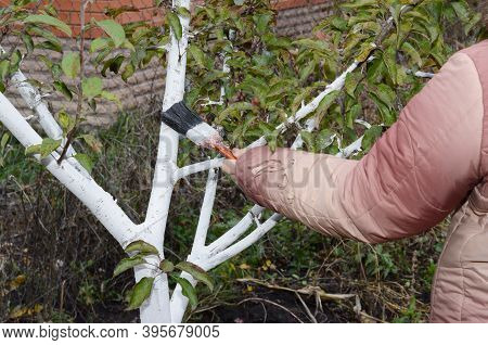 A Gardener Is Preparing Trees For Winter By Painting A Fruit Tree Trunk And Bark To Protect It From
