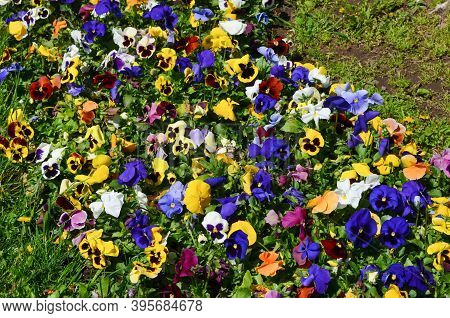 Many Vivid White, Purple, Pink And Yellow Mixed Colored Pansies Or Viola Tricolor Flowers In A Sunny
