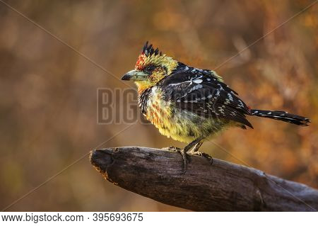 Crested Barbet Standing On A Log With Fall Colors Background In Kruger National Park, South Africa ;