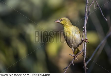 Village Weaver Standing On A Branch With Natural Background In Kruger National Park, South Africa ;