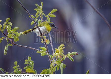 Yellow Breasted Apalis Standing In Shrub In Kruger National Park, South Africa; Specie Apalis Flavid