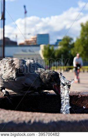 Thirsty Hooded Crow Drinking Water From A Public Spring In The Summer Heat.