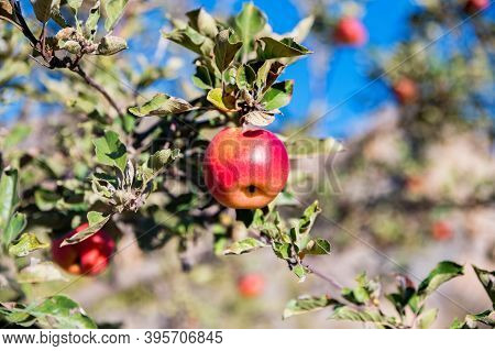 Close Up Of Red Appl On The Tree In Autumn