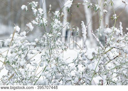 Green Grass Of Bushes Under First Snow, Snowy Landscape, Natural White Grey Monochrome Background, W