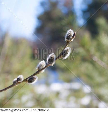 Spring Flowered One Willow Branch On A Sunny Background. Spring In The Park. Close Up. Willow Catkin