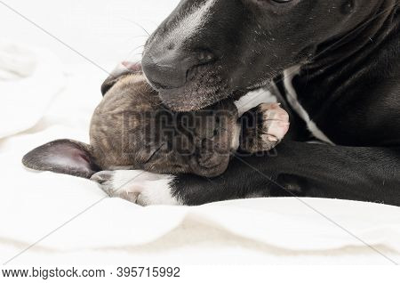 Staffordshire Terrier Two-month Puppy Dog. Young Dog Playing With Mommy Dog.