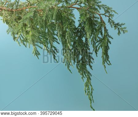 Coniferous Green Branch On A Blue Background