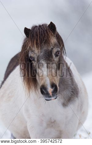 Horse head of cute Shetland pony on winter background. Portrait close up of white with spots mare pony