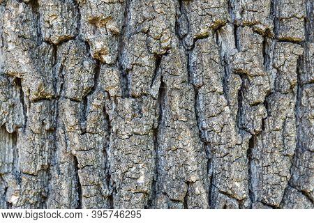 Rough Oak Bark - Cracked And Ribbed Tree Bark, Close-up