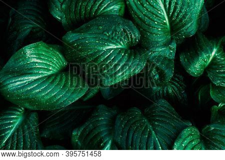 Green Leaf With Water Drops For Background. Green Leaf Texture. Leaf Texture Background. Natural Bac