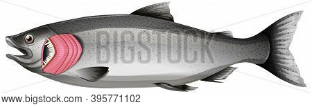 Salmon Fish With Gills On White Background