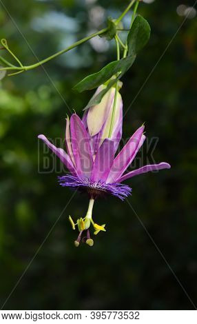 Opened Flower Of Passiflora Plant In A Greenhouse.