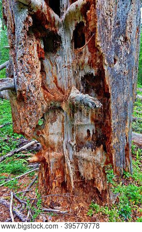 Weird Pine Formation - The Strange Remains Of A Dead Ponderosa Pine Tree In The Forest Along Canyon