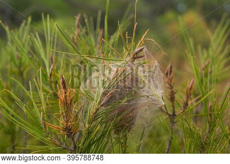 Close Up Of A Processionary Nest On The Branches Of A Pine