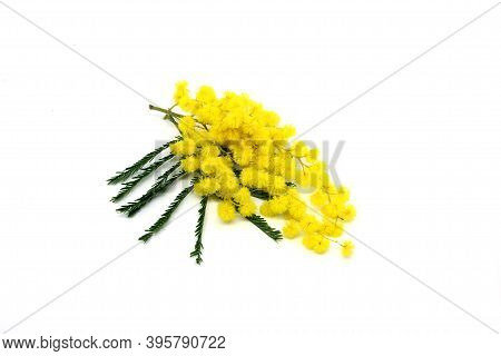 Mimosa Flower.spring Background With Spring Mimosa Flowers.mimosa Spring Flowers On The White Backgr