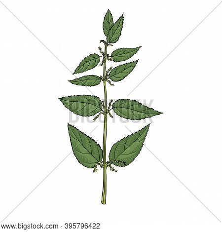 Vector Drawing Nettle Plant, Urtica Dioica , Hand Drawn Illustration Of Medicinal Plant