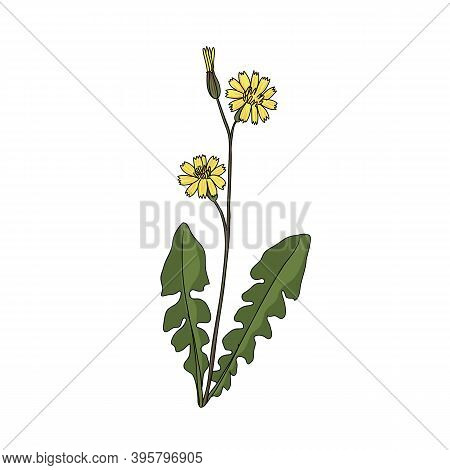 Vector Drawing Japanese Hawkweed , Youngia Japonica , Hand Drawn Illustration Of Medicinal Plant