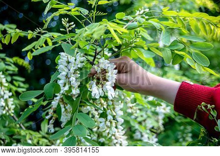 Hand Tearing White Flowers Tree Acacia. Blooming Clusters Of Acacia. Honey Spring Plant. Branches Of