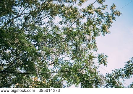 Branches With White Flowers Tree Acacia Against Blue Sky. Blooming Clusters Of Acacia. Honey Spring