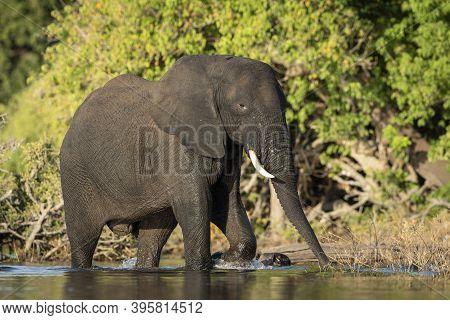 Adult Elephant Walking In Chobe River In Warm Afternoon Sun In Botswana