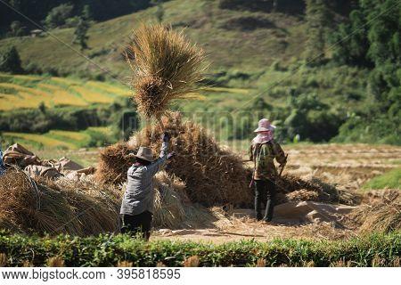 14 November 2020, Farmers Rice Grain Threshing During Harvest Time In Chiang Rai, Northern Thailand