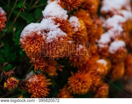Blooming Purple Chrysanthemum Flowers With Fresh White Snow. Frozen Flowers With Frost In The Garden
