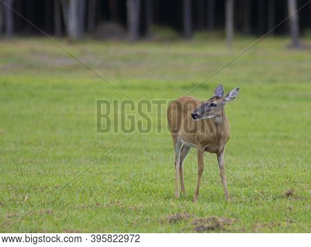 Female Whitetail Deer Looking At Something On A Field In North Carolina