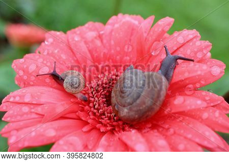 Closeup Mother Snail And Baby Snail Relaxing On A Vibrant Pink Blooming Gerbera Flower Full Of Dewdr