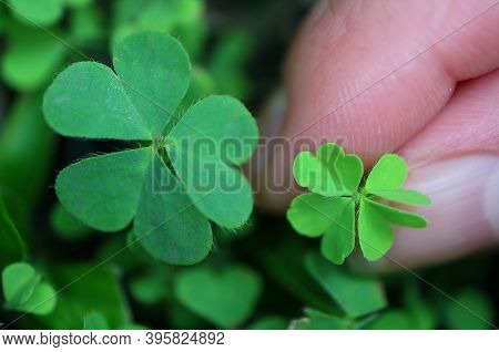 One Four-leaf Clover Growing Among The Shamrock Leaves In The Garden