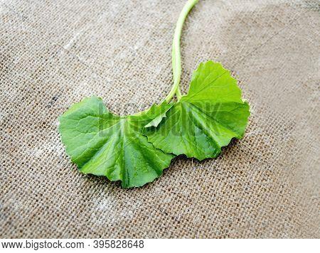 Gotu Kola Or Asiatic Pennywort Fresh Green Leaves Scientifically Named Centella Asiatica On Sackclot